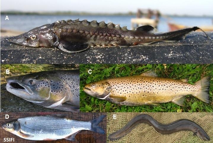 Phot_3_Migratory_fish_Vistula_R